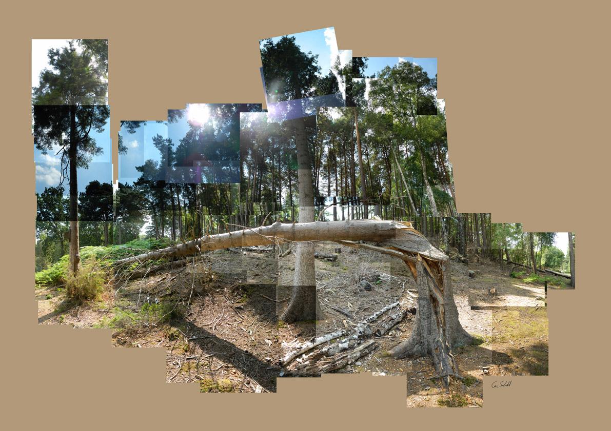 Fallen Tree - Brownsea Island WP