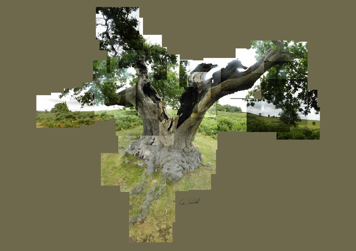 Oak Tree - Bradgate Park WP